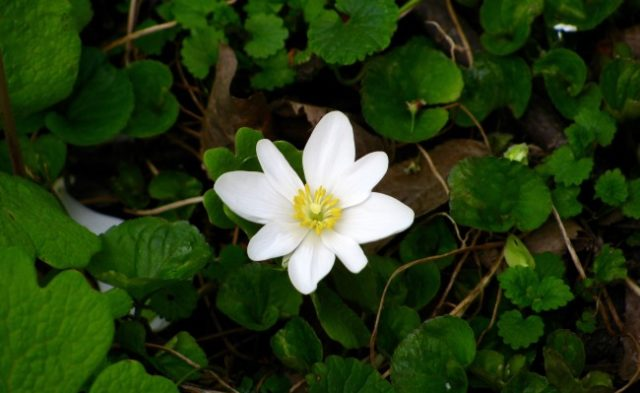 Bloodroot-containing products sold as a cure for cancer can be highly toxic and result in disfigurem