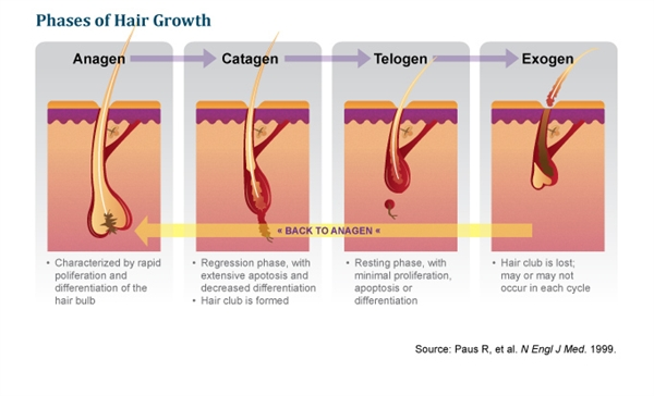 Normal hair growth is comprised of three phases: 1) Anagen, 2) Catagen and 3) Telogen.3 Exogen then occurs when hair is released from the follicle.3