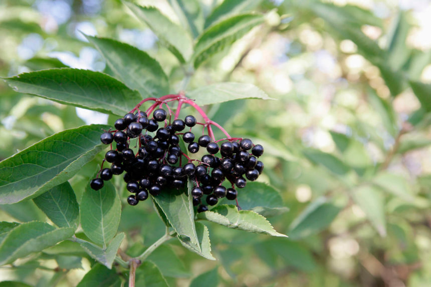 There are no in-human studies or animal studies that have evaluated whether elderberry extract can prevent or treat cancer.